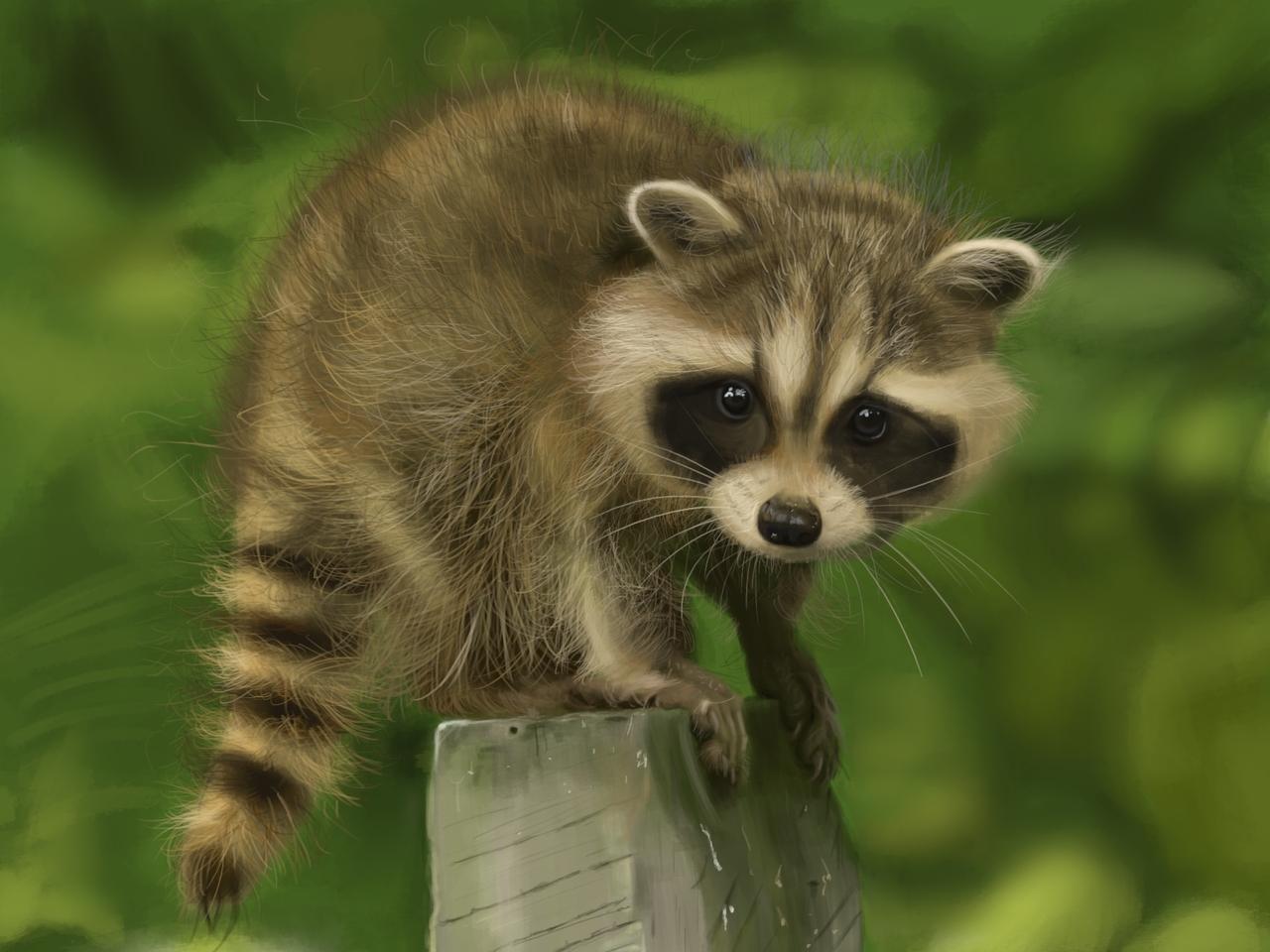 Baby Raccon
