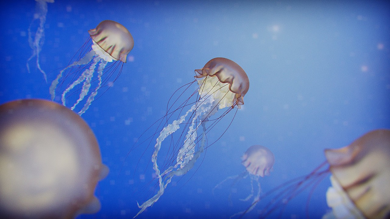 Jellyfish The Angel of The Ocean