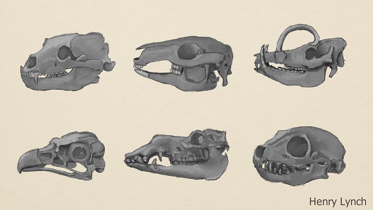 Animal Skull Studies