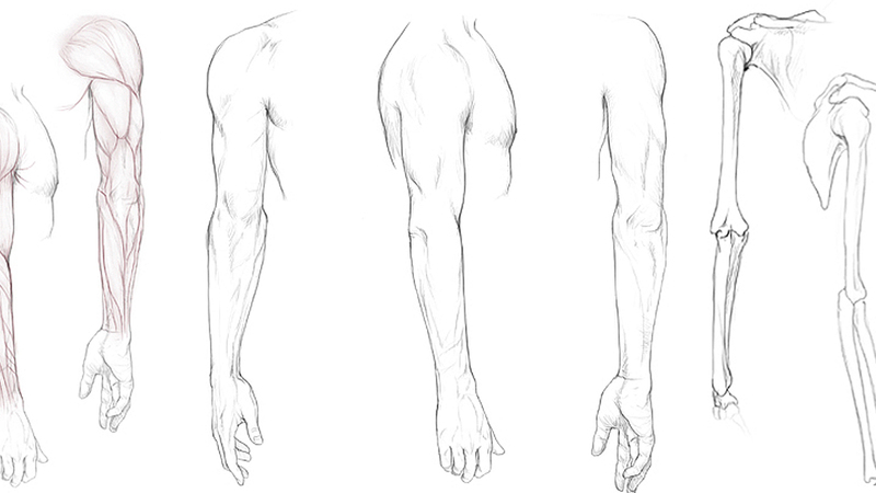 Arm Anatomy Resource