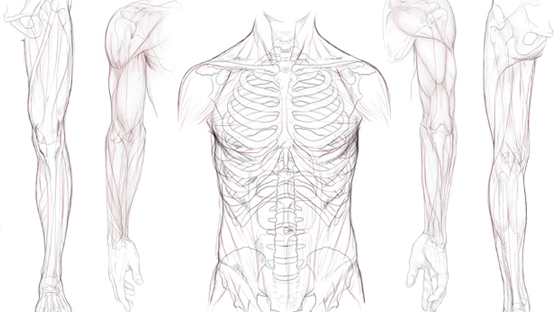 Human 2D Anatomy Reference Pack.